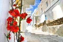 red flowers - street in mykonos island, greece